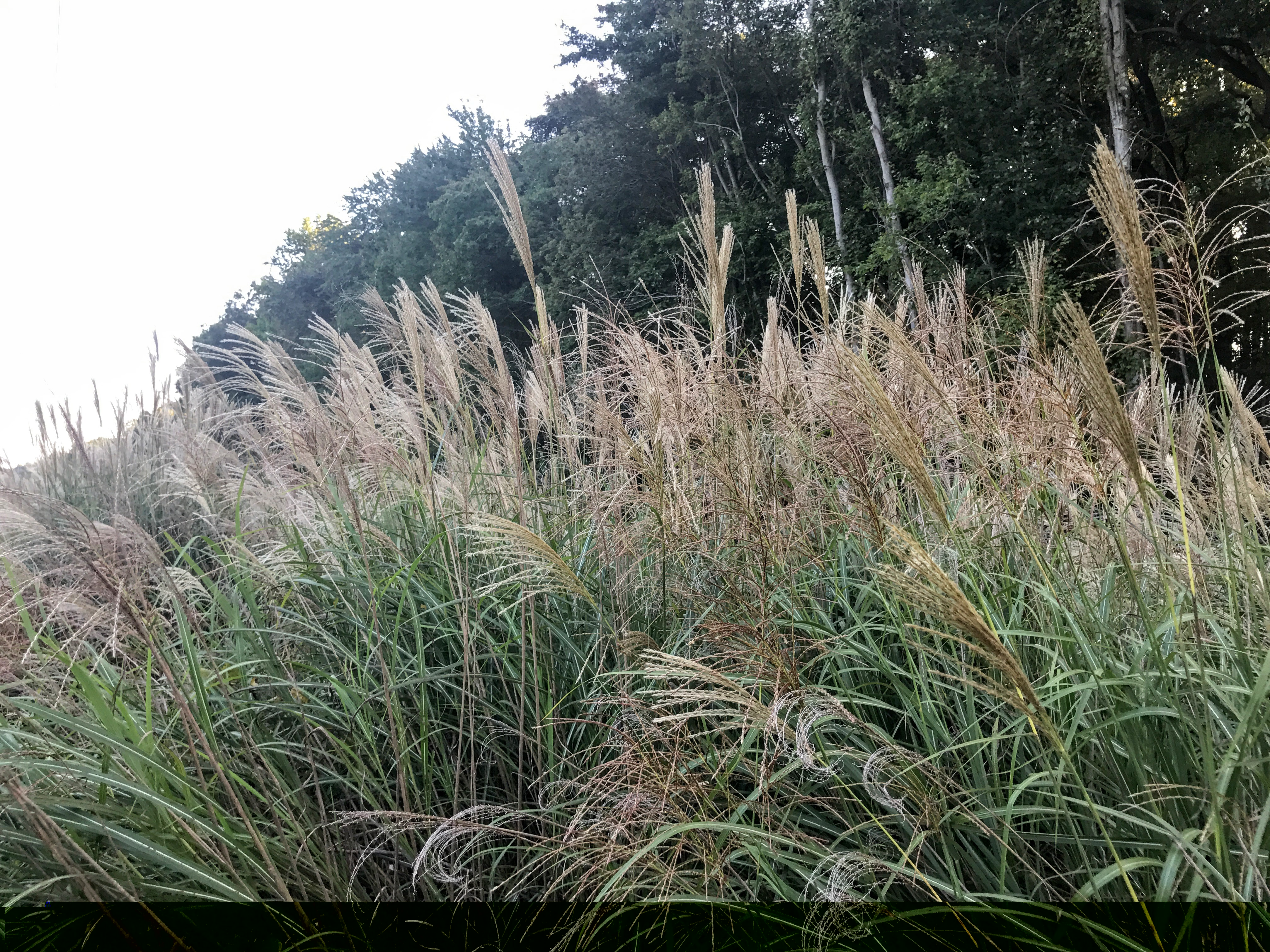 Miscanthus Invasion