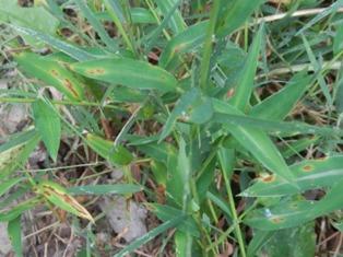 stiltgrass