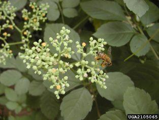 bushkiller flowers 313x236