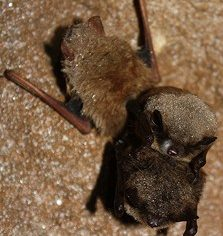 Little Brown Bat 223x236
