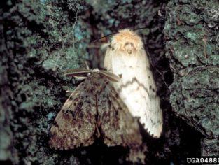 gypsy moth1 313x236