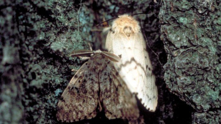 gypsy moth1 730x410