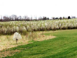 callery pear field 313x236