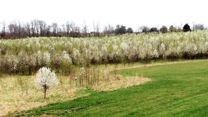 Callery Pear Field