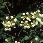 doublefile viburnum 144x144