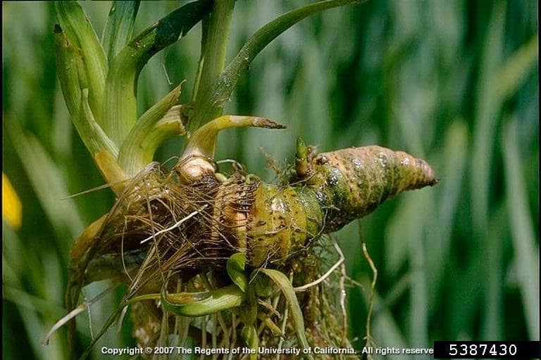 iris pseudacorus rhizome