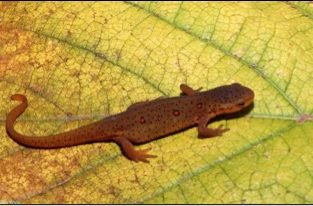 red spotted newt 313x206