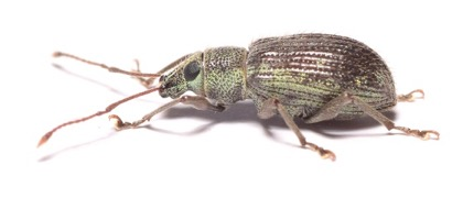 AsiaticOakWeevil Photo courtesy of Chris Joll © 2017