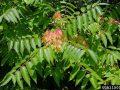 ailanthus1 120x90