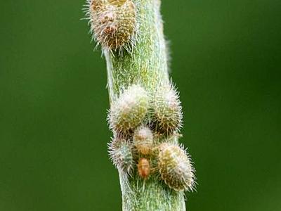 kudzu larvae 5440285