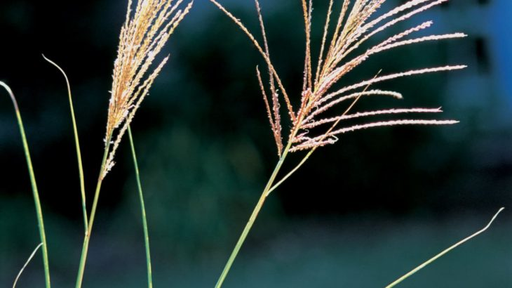 The distinctive inflorescence of Chinese silver grass. Photo by James H. Miller, USDA Forest Service, Bugwood.org.