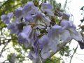 Pautom blossoms close up 5 9 06 S 120x90
